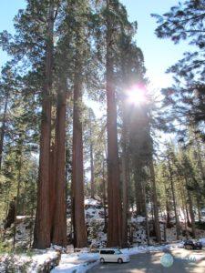 sequoia1