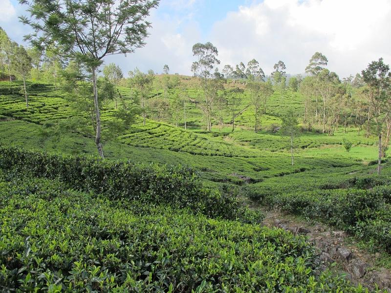 Plantaciones de té cerca de Haputale
