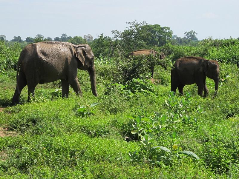 Elefantes en libertad en el Parque de Udawalawe