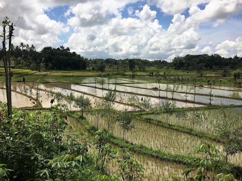 arrozales de camino a Tetebatu