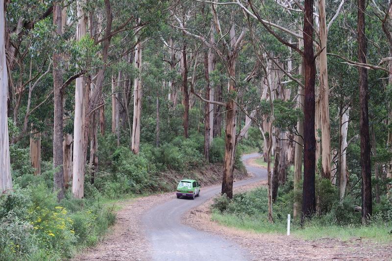 en busca de koalas