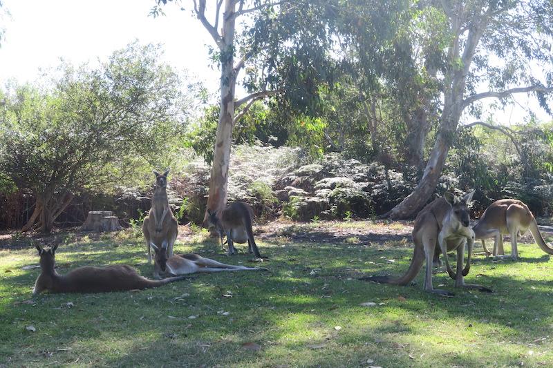 canguros en Yanchep